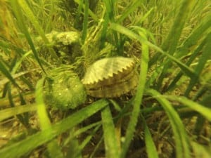 Scalloping Florida